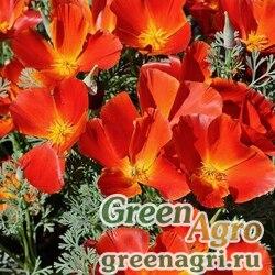 Эшшольция Красный вождь  (упак-50 гр.)