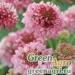 Скабиоза темно-пурпурная Лососево-розовая  (упак-50 гр.)