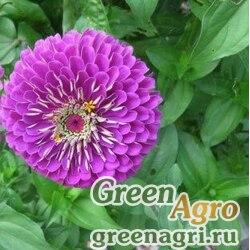 Цинния георгиноцветковая Фиолетовая королева  (упак-50 гр.)