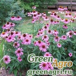Рудбекия пурпурная Розовая  (упак-50 гр.)