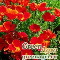 Эшшольция Маков цвет  (упак-50 гр.)