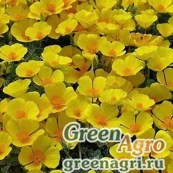 Эшшольция Желтая королева  (упак-50 гр.)