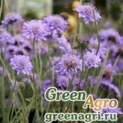 Скабиоза темно-пурпурная Лавандовая  (упак-50 гр.)