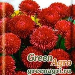 Маргаритка Красный шар  (упак-50 гр.)
