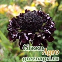 Скабиоза темно-пурпурная Вишнево-черная  (упак-50 гр.)