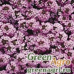 """Алиссум морской компактный (Lobularia maritima) """"Wonderland"""" (lavender) raw 1000 шт."""