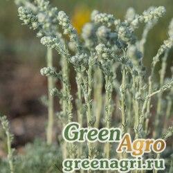 Полынь кавказская (Artemisia caucasica) гр 2 гр.
