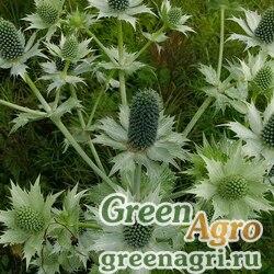 Синеголовник гигантский (Eryngium giganteum) 5 гр.
