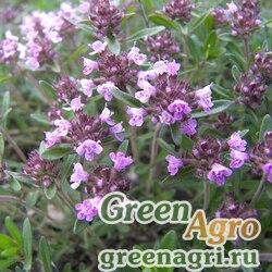 Тимьян пастуший (Thymus pastoralis) 3 гр.