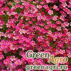 "Камнеломка Арендса (Saxifraga x arendsii) ""Floral Carpet"" (pink) 1.5 гр."