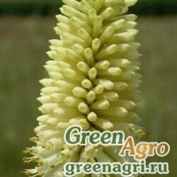 Книфофия беловатая (Kniphofia albescens) 500 шт.
