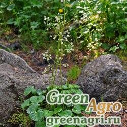 Камнеломка летняя (Saxifraga aestivalis) 0.3 гр.