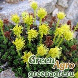 Камнеломка сухоногая (Saxifraga scleropoda) 0.3 гр.