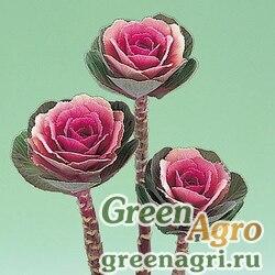 "Капуста декоративная (Brassica oleracea) ""Crane F1"" (pink) raw 1000 шт."