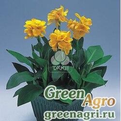 "Канна садовая (Canna generalis) ""Tropical F1"" (yellow) raw 500 шт."
