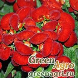 "Кальцеолярия гибридная (Calceolaria hybrida) ""Sunset F1"" (red) 1000 шт."