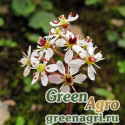 Камнеломка Нельсона (Saxifraga nelsoniana) 0.3 гр.
