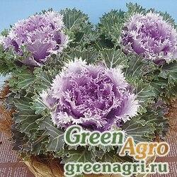 "Капуста декоративная (Brassica oleracea) ""Bizzard F1"" raw 1000 шт."