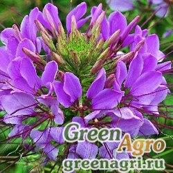 "Клеома Хасслера (Cleome hassleriana) ""Sparkler F1"" (lavender) primed 1000 шт."