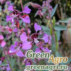 Кларкия изящная (Clarkia unguiculata) (purple) 80 гр.