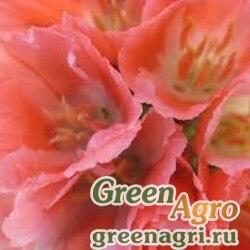 Кларкия изящная (Clarkia unguiculata) (orange) 80 гр.