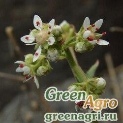 Камнеломка точечная (Saxifraga punctata) 0.2 гр.