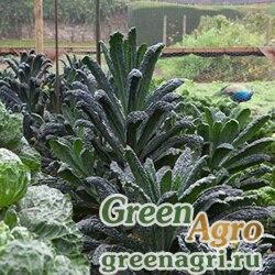 """Капуста декоративная (Brassica oleracea) """"Nero di Toscana F1"""" Raw 1000 шт."""