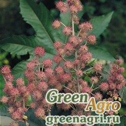 """Клещевина обыкновенная (Ricinus communis) """"Carmencita"""" (pink) raw 1000 шт."""
