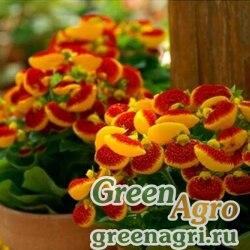 """Кальцеолярия гибридная (Calceolaria hybrida) """"Sunset F1"""" (orange) 1000 шт."""