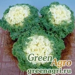 "Капуста декоративная (Brassica oleracea) ""Bloom F1"" (white) raw 1000 шт."