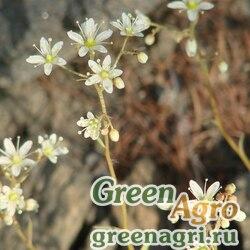 Камнеломка колючая (Saxifraga spinulosa) 0.3 гр.