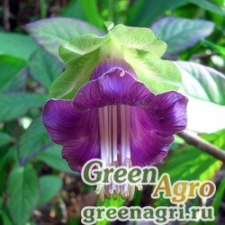 Кобея лазающая (Cobaea scandens) (violet) raw Произв. 1000 шт.