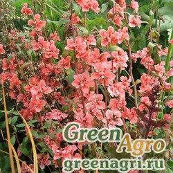 Кларкия изящная (Clarkia unguiculata) (salmon rose) 80 гр.