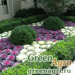 Капуста декоративная разрезолистная (Brassica oleracea) (mix) 20 гр.