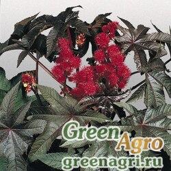 """Клещевина обыкновенная (Ricinus communis) """"Carmencita"""" (bright red) raw 250 шт."""