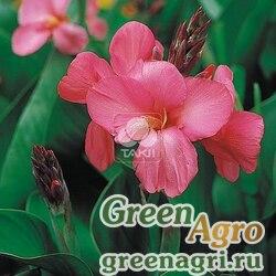 """Канна садовая (Canna generalis) """"Tropical F1"""" (rose) raw 500 шт."""