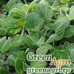 Плектрантус серебристый Plectranthus argentatus SILVER CREST GREEN Raw 100