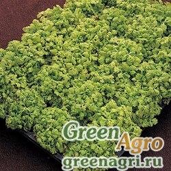 """Пиретрум девичий (Tanacetum parthenium) """"Golden Moss"""" raw 1000 шт."""