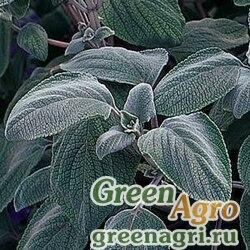 "Плектрантус серебристый (Plectranthus argentatus) ""Silver Shield"" (white with a bluish tinge) 100 шт."