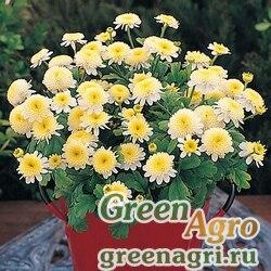 """Пиретрум девичий (Tanacetum parthenium) """"Santana"""" (yellow) raw 1000 шт."""