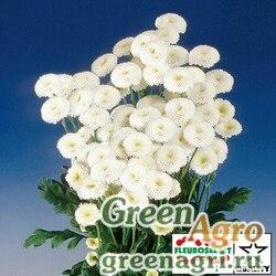 """Пиретрум девичий (Tanacetum parthenium) """"Virgo"""" (white) raw 1000 шт."""