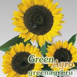 "Подсолнечник летний (Helianthus annuus) ""Cutting Gold"" (golden yellow) raw 1000 шт."