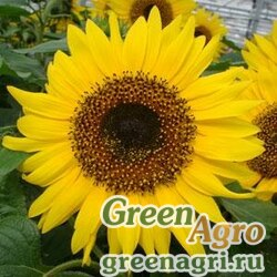 """Подсолнечник летний (Helianthus annuus) """"Choco Sun"""" (yellow) treated 1000 шт."""