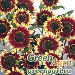 "Подсолнечник летний (Helianthus annuus) ""Florenza"" (yellow-red-brown) raw 1000 шт."