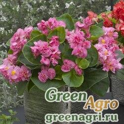 Бегония вечноцветущая махровая Фиона Роуз 250драже