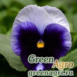 Виола крупноцветковая Матрикс Биконсфилд 100шт
