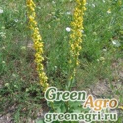 Коровяк черный (Verbascum nigrum) 4 гр.