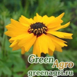 Кореопсис Друммонда (Coreopsis basalis/drummondii) (yellow) 70 гр.