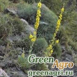 Коровяк невадский (Verbascum nevadense) 3 гр.