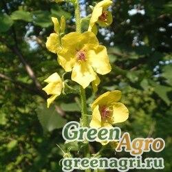 Коровяк тараканий (Verbascum blattaria) 1 гр.